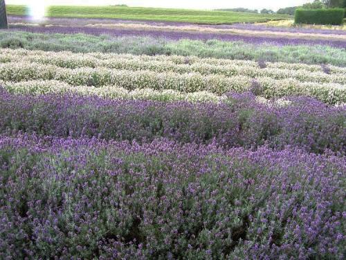 snowshill_lavender_farm_original